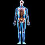 3D illustration  skeleton anatomy