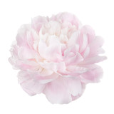 Pale pink peony flower isolated on white background