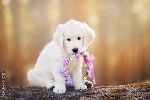 Poster, Tablou adorable golden retriever puppy at sunset