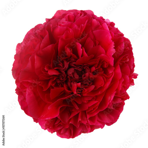 Staande foto Roses Burgundy peony flower isolated on white background