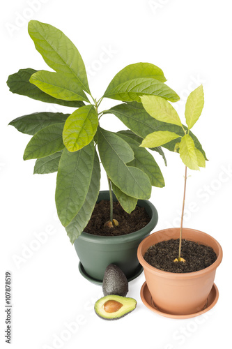 Two avocado plants and fruits Poster