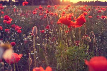 Mohnblumenfeld im Sommer, mit Mohnblumen, romantisch in Rot