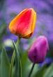 colorful tulips at garden sunset after rain
