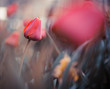 fresh garden tulips