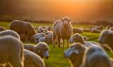 Flock of sheep at sunset - 107927554