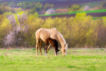 Foal with mare on pasture