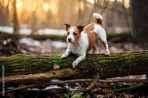 Poster Dog breed Jack Russell Terrier walking in the forest