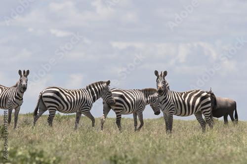 Fototapeta Portrait of wild free roaming zebra