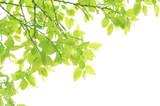 新緑の芽生え - Fine Art prints