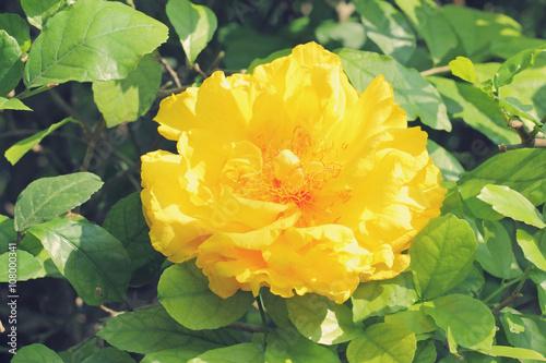 Papiers peints Azalea yellow flower on tree