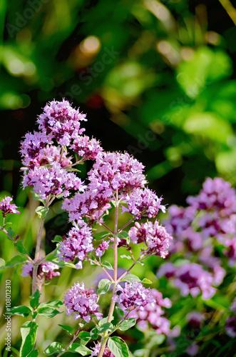 Oregano lilac Poster