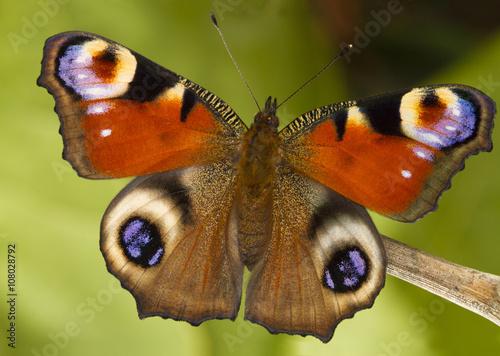 Wiosna pawi motyl na zielonym backround