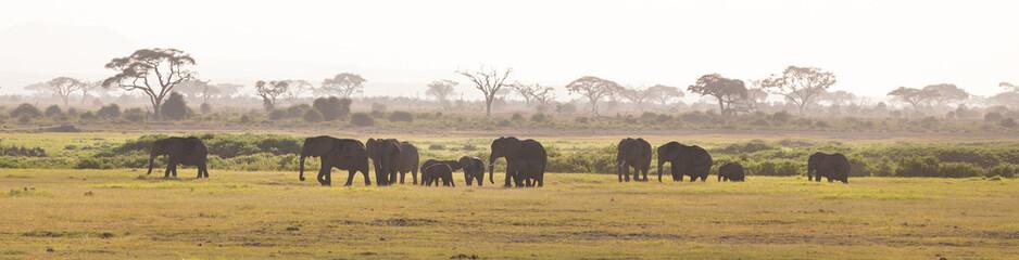 Herd of elephants walkig in Amboseli National park, Kenya, Africa. Panorama.