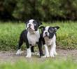 puppy Boston Terrier in the Park