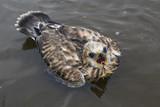 Chick-Buzzard Rough-legged Buzzard fallen into the water. Laptev sea. Yakutia. Russia.