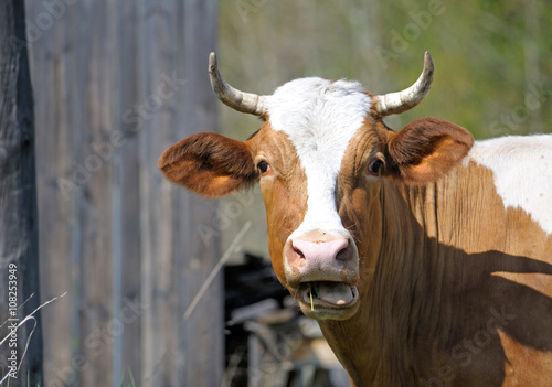 Poster Brown bull by the fence on a farm