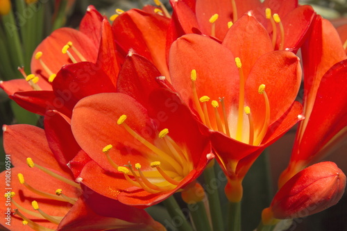 Obraz na Szkle clivia fiore pianta flower plant