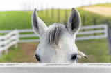 Equus ferus caballus. Beautiful white horse is looking at us, face to face, from behind of the fence. Rural scene. Green meadows. - 108287574