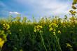 Obrazy na płótnie, fototapety, zdjęcia, fotoobrazy drukowane : Bee on rapeseed flower, pollination under blue sky. Agricultural landscape.