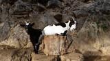 Petites chèvres