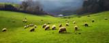 panorama of sheep grazing - 108350996