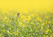 Leinwandbild Motiv Ein Braunkehlchen sitzt auf einer Blüte in einem Rapsfeld