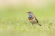 Bluethroat foraging in grass