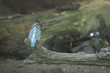 Kingfisher closeup