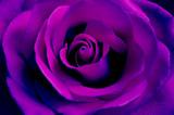 bright purple rose close up - 108375599