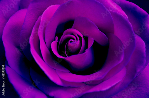 bright purple rose close up