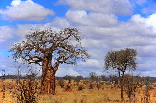 Staande foto Baobab Baobab or boab, boaboa, bottle tree, upside-down tree, and monkey bread tree Tarangire National Park is the sixth largest national park in Tanzania after Ruaha, Serengeti, Mikumi, Katavi and Mkomazi