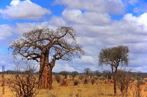 Fotobehang Baobab Baobab or boab, boaboa, bottle tree, upside-down tree, and monkey bread tree Tarangire National Park is the sixth largest national park in Tanzania after Ruaha, Serengeti, Mikumi, Katavi and Mkomazi