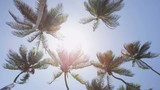 Palm trees background in sun flare - tropical summer concept. upward view of tall flowing coconut trees in the fresh breeze against a perfect blue sky in the Caribbean. Tropics exotic destination