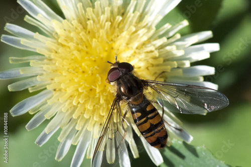 Poster abeille syrphe et fleurs