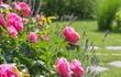 blühende Rosen im grünem Hausgarten