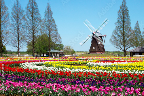 Plakat 風車のあるチューリップ畑