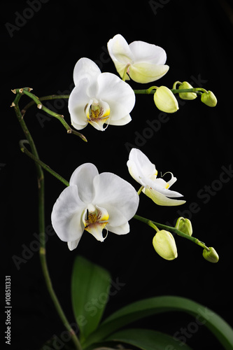 Beautiful white orchid branch on black background. - 108511331