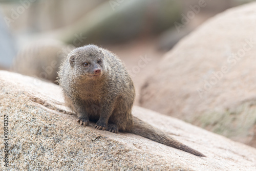 Herpestes (mongoose family) Poster