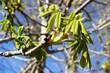 Obrazy na płótnie, fototapety, zdjęcia, fotoobrazy drukowane : Ветка каштаного дерева. Весна