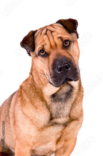 Poster Hund mit Falten, Faltenhund