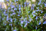 blossoming rosemary plants in the herb garden - 108567569