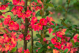 chinese quince flowers (chaenomeles speciosa) - colorized photo