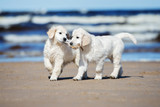 two golden retriever puppies on a beach