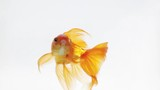Beautiful goldfish swimming