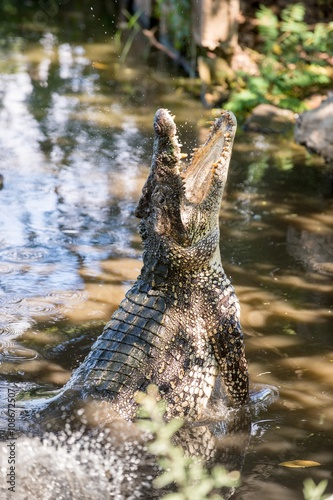 Poster Attack crocodile. Cuban Crocodile (crocodylus rhombifer).