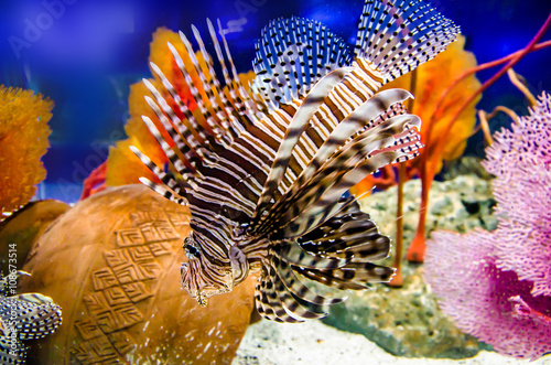 Lionfish, Turkeyfish, Firefish,