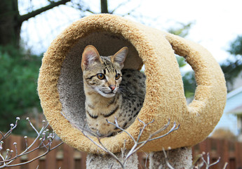 Savannah kitten. A spotted and striped gold colored Serval Savannah kitten resting on a cat tree outside.