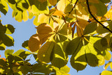 horse-chestnut leaves against blue sky