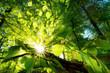 Sonnenstrahlen leuchten effektvoll durch Blätter