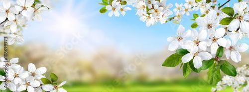 Zdjęcia na płótnie, fototapety, obrazy : Frühlingsparadies mit weißen Blüten, Sonne und blauem Himmel,